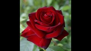 обрезка парковых роз,питомник роз Полины Козловой, интернет магазин саженцев роз
