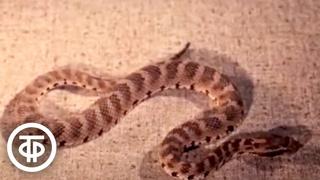 На службе здоровья. Об исследованиях по использованию змеиного яда в медицине (1976)