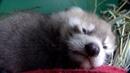 Red Panda Baby Shower For Mei Mei