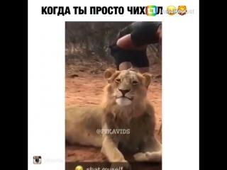 Лев просто чихнул)