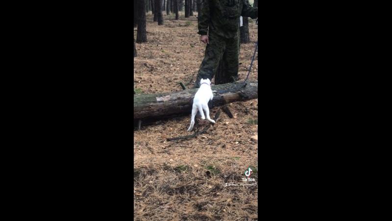Видео от Аргентинские Доги ДАР